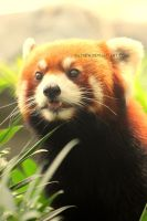 Red panda by Dathew