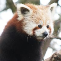 Red Panda by Globaludodesign