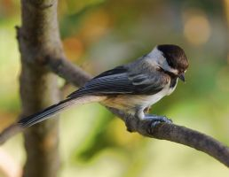 Chickadee by barcon53