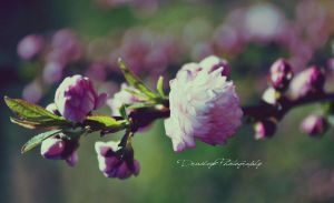 Flowering Almond by druideye