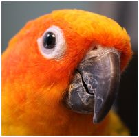 Lupe the Sun Conure by cosmosue