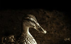 Portrait of a Duck Wallpaper by eyefish