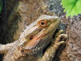 The Staring Bearded Dragon by iRaccoon