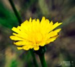 Just Dandy by MoonShotPhotos