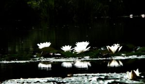 waterlilies by BakerWithStar
