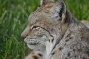 Lynx 3 by decolesse-stock