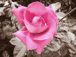 Rose Antique by Appareance