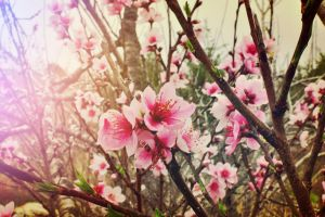 Sunshine On Cherry Blossoms by AndrewCarrell1969