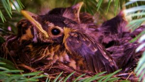 Baby Robins_ Cropped by musksnipe