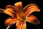 Day Lily by EvaMcDermott