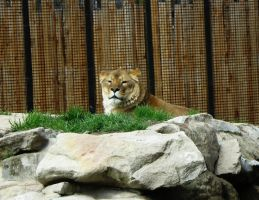 Lion 7 -- Aug 2009 by pricecw-stock