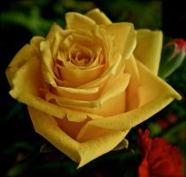 A Yellow Rose For Friendship by MissSpocks