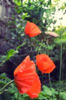 Three poppies by cosmicsteve