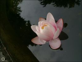 Water Lily by saniday