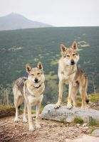 Czechoslovakian Wolfdogs and Czech Mountain by Czertice