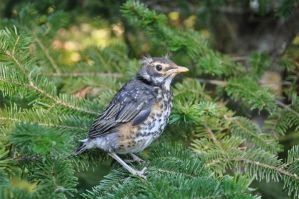 Baby North American Robin by GeraldII