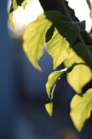 Light Through the Leaves by AtomicBrownie