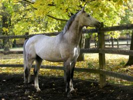 Grey Stallion 2 by LadyAyslinn
