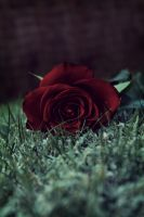 Vintage rose by ZeiderSten