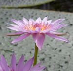 Water lily by villed-stocks