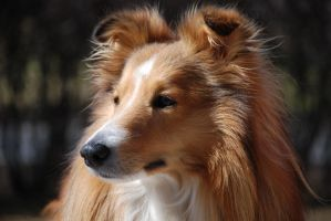 Santtu the Sheltie 9 by Geisari