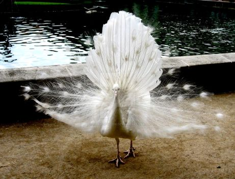 White peacock by cutiaculitere