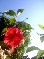 hibiscus by plainordinary1