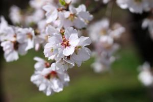 Sour Cherry tree flower by sztewe