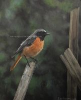 Common Redstart male by makangeni