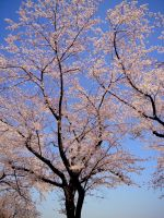 Sakura 2012 V by larksgar