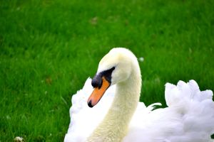 Swan in Early Spring. by wagn18