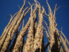 Winter Ocotillo in Saguaro by Geotripper