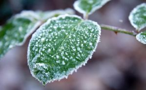 Frozen Rose Leaf by Quaiasla