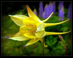 Lovely Columbine by JocelyneR
