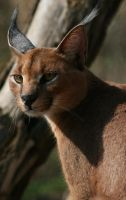 Caracal II by Draghonia