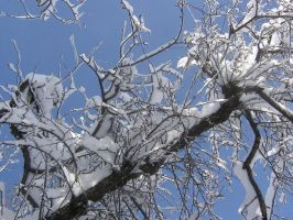 snow on tree 02 by CotyStock