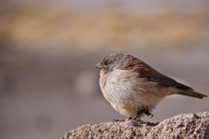 small brown bird by geno-sulum