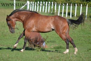June 2015: bay rabicano apha mare buck by slime-stock
