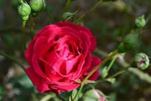 Red rose by Shiilla