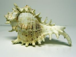 Conch Shell Stock10 by NoxieStock