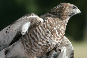 Redtail Hawk 08 by Sphinx47