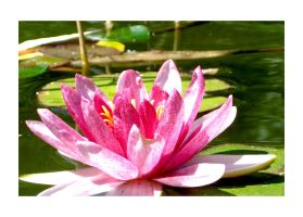 water-lily by flocska