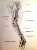 School anatomy studies: arm muscles by Travis-Anderson