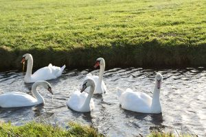 swans by priesteres-stock