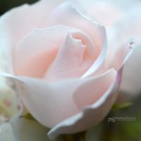 soft pink shades by akthuro