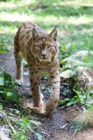 7592 - Lynx by Jay-Co