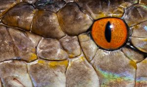 Retic Eye by mant01