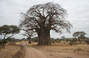 Baobab by MAGIAINCANTO