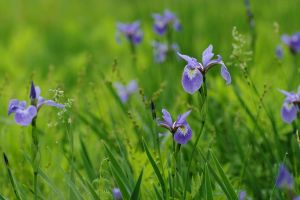 Blue Flag Iris Patch by barcon53