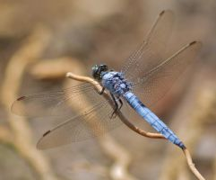 Dassia dragonfly August 2014 5 4 by melrissbrook